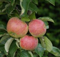 Apfelfreuden
